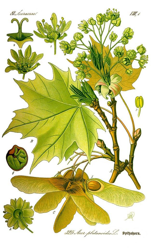 Illustration botanique d'un érable plane
